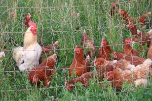 Unsere Hühner aud dem Gut Onnau