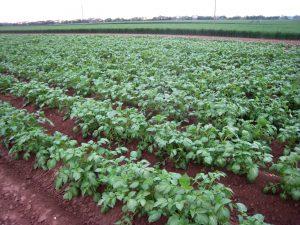 Kartoffeln von Gut Onnau
