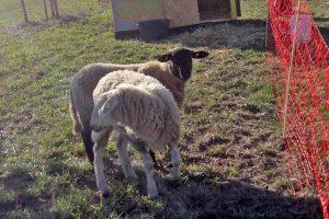 Schafe auf dem Gut Onnau